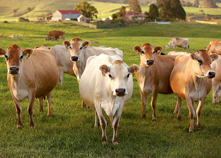 Herd of dairy cows waiting to be milked