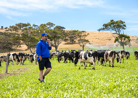 Farmer walking through a paddock with grazing dairy cows