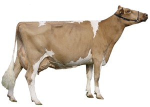 Breeders image of a Guernsey dairy cow